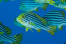BD-150421-Maldives-7528-Plectorhinchus-vittatus-(Linnaeus.-1758)-[Oriental-sweetlips].jpg